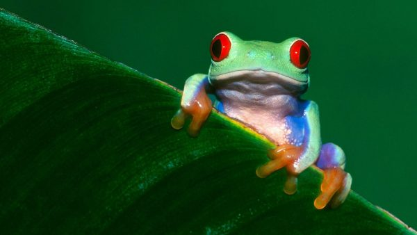 frog-wallpaper-HD2-600x338