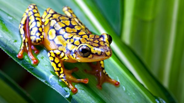 frog-wallpaper-HD3-600x338