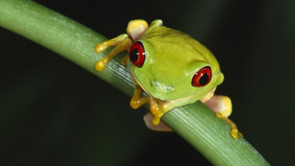 frog-wallpaper-HD4-600x338