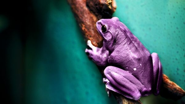 frog-wallpaper-HD5-600x338