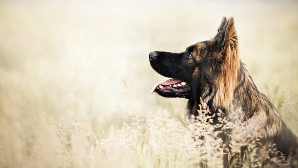 german shepherd wallpaper HD1