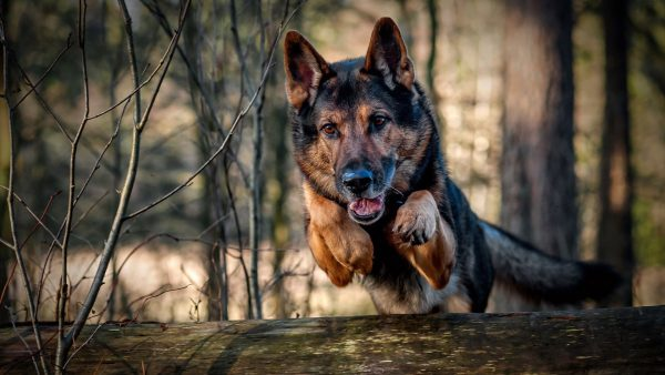 german shepherd wallpaper HD2