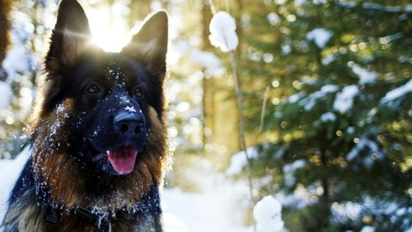 german shepherd wallpaper HD3