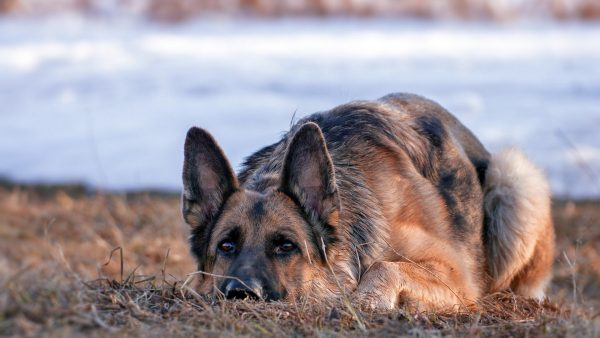 german shepherd wallpaper HD4