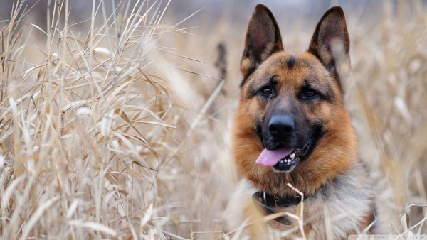 german-shepherd-wallpaper-HD5-600x338