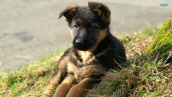 german shepherd wallpaper HD7