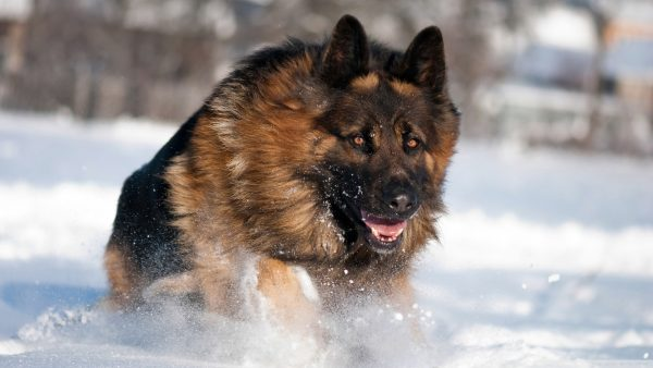 german shepherd wallpaper HD9