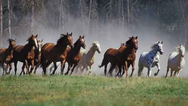 horse-wallpapers6-600x338
