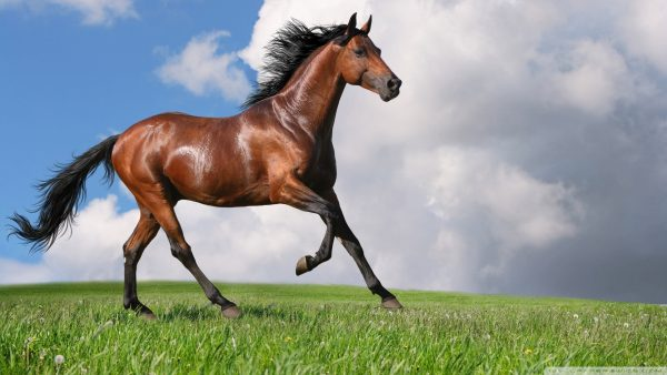 horse wallpapers8
