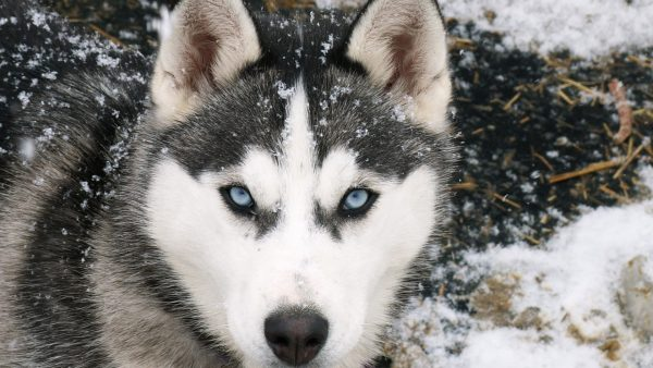 husky-wallpaper10-600x338