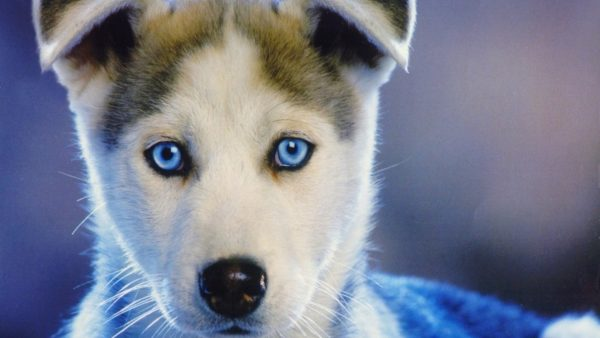 husky-wallpaper3-600x338