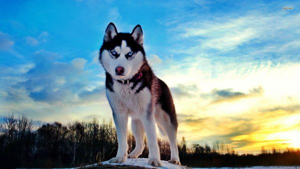 husky-wallpaper6-600x338