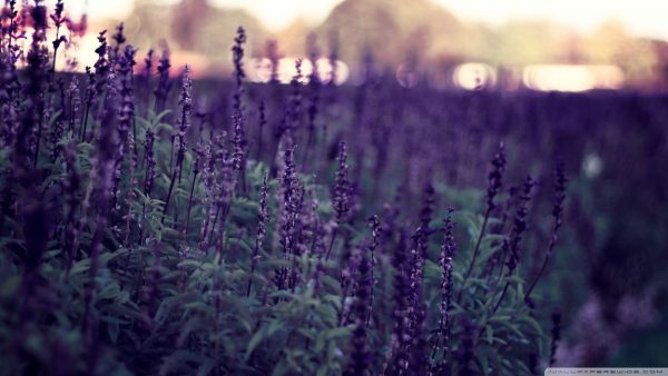 lavender-wallpaper1-600x338
