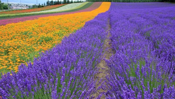lavender-wallpaper10-600x338