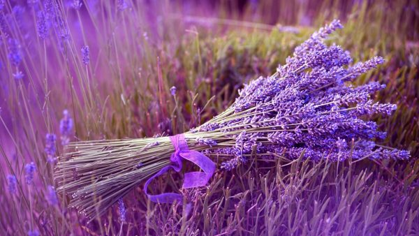 lavender-wallpaper2-600x338