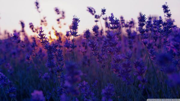 lavender wallpaper3