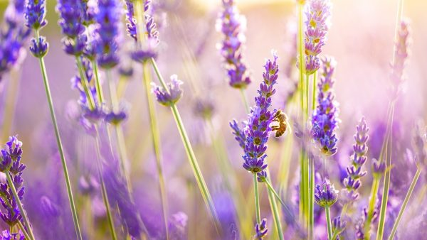 lavender-wallpaper4-600x338