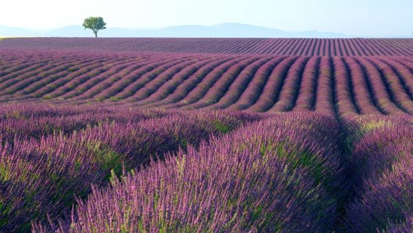 lavender-wallpaper5-600x338
