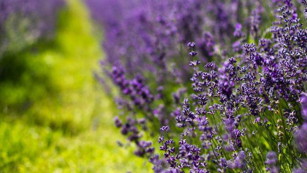 lavender wallpaper7