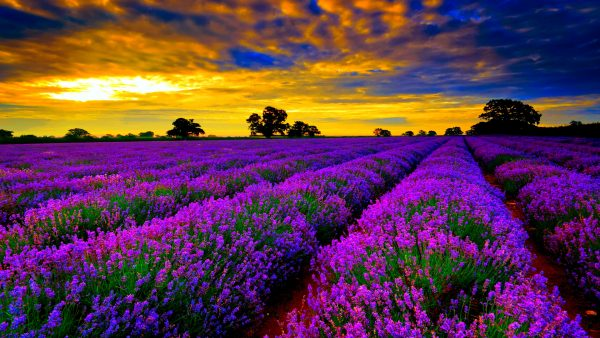 lavender-wallpaper9-600x338