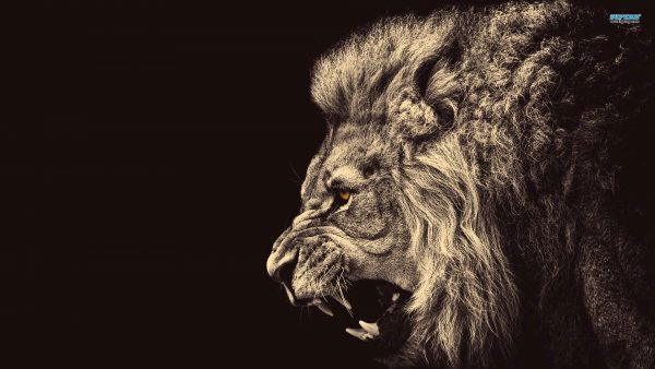 lion wallpaper hd5