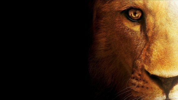 lion wallpaper hd9