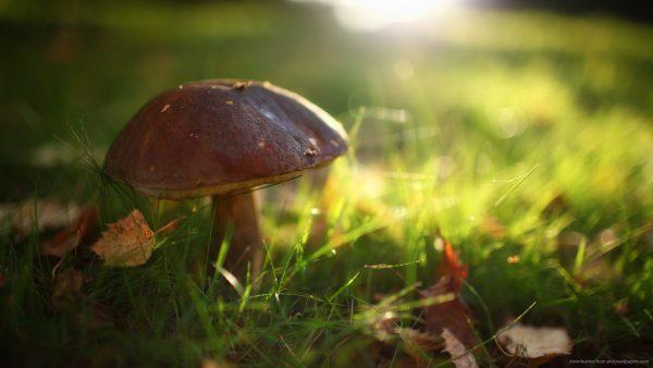 mushroom-wallpaper-HD6-600x338