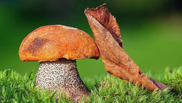 mushroom wallpaper HD7