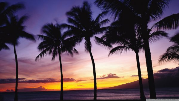 palm-trees-wallpaper4-600x338