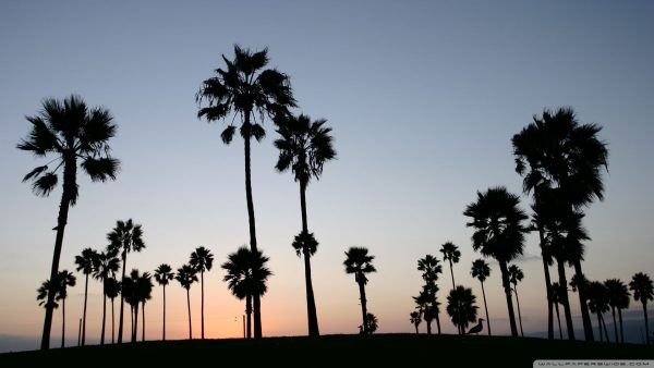 palm-trees-wallpaper5-600x338