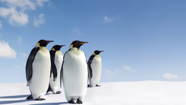 Pinguin wallpaper1