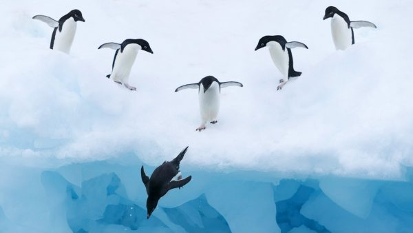 penguin-wallpaper10-600x338