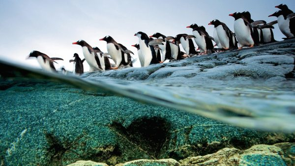 penguin-wallpaper3-600x338