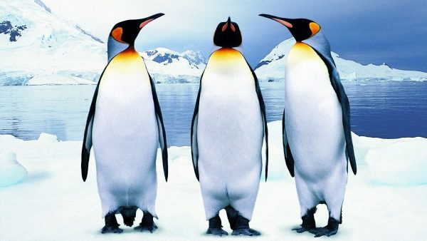 penguin-wallpaper7-600x338