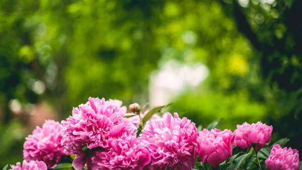 peonies-wallpaper-HD3-600x338