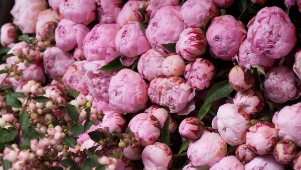 peonies-wallpaper-HD6-600x338