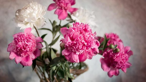 peonies wallpaper HD8