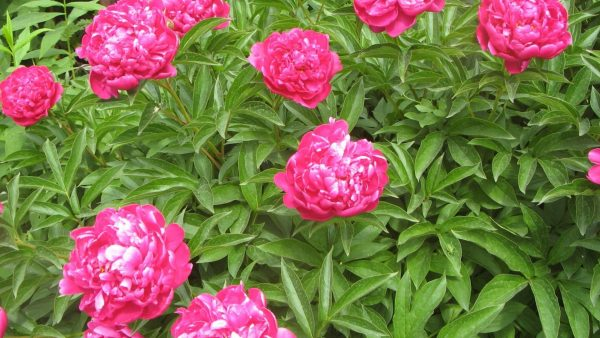 peonies wallpaper HD9