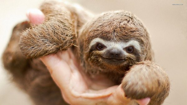 sloth-wallpaper6-600x338