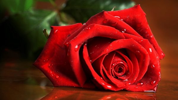 wallpaper roses HD1