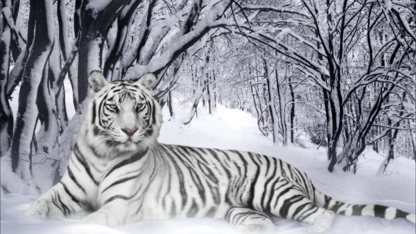 white tiger wallpaper1