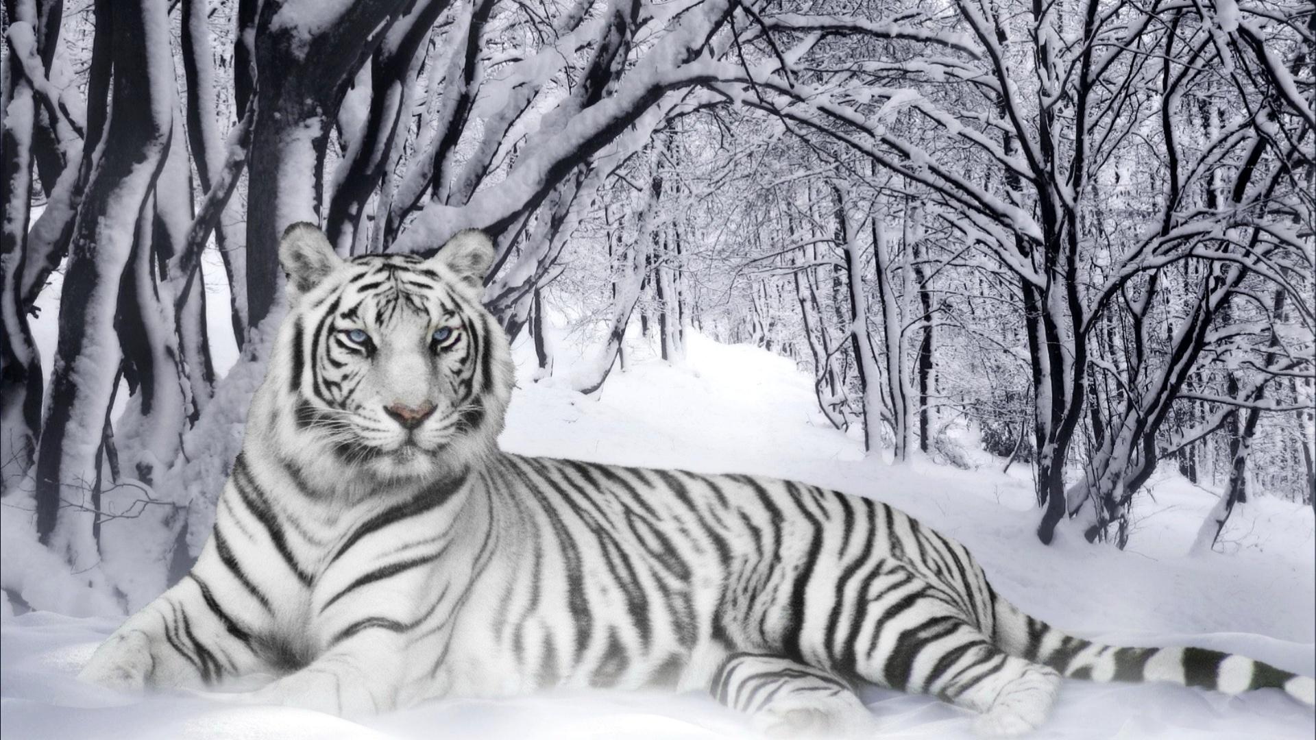 Witte tijger behang - White tiger wallpaper free download ...