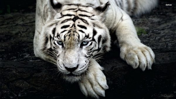 white tiger wallpaper2