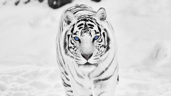white tiger wallpaper3