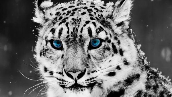 white tiger wallpaper4