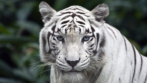 white tiger wallpaper5