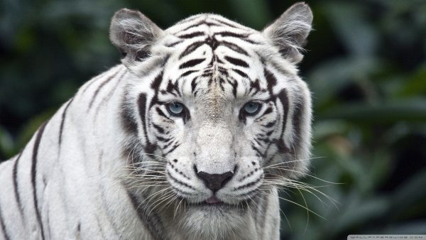 white tiger wallpaper6