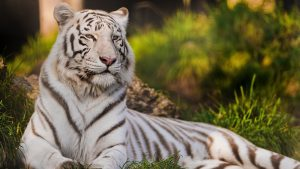 white tiger Tapete