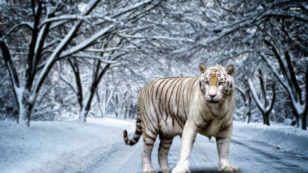 white tiger wallpaper9