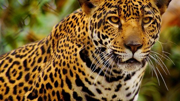 animal-print-wallpapers-HD10-600x338